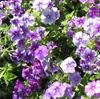 Floks, Sommer- <br>'Beauty Moody Blues' <br><i>Phlox drummondii</i>