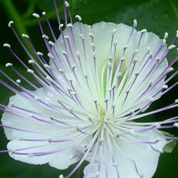 Kapers <br><i>Capparis spinosa </i>