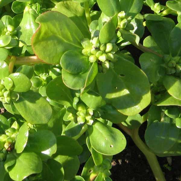 Portulak sommer portulaca oleracea