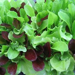 babyleaves mikrogr nt lettuce mesclun mix. Black Bedroom Furniture Sets. Home Design Ideas