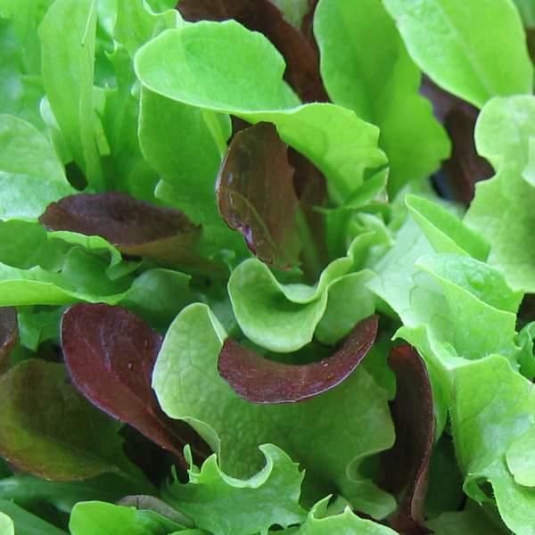 babyleaves mikrogr nt lettuce mesclun mix. Black Bedroom Furniture Sets. Home Design Ideas