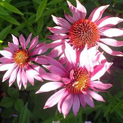 Purpursolhat \'Bright Star\' <br><i>Echinacea purpurea </i>