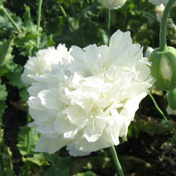 Valmue \'White Cloud\'<br><i>Papaver paeoniflorum</i>