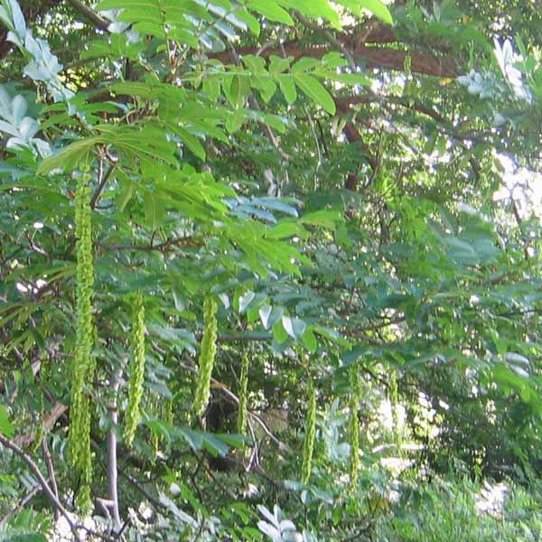 vingevalnød træ